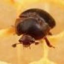 Un nuovo pericolo per le api AETHINA TUMIDA